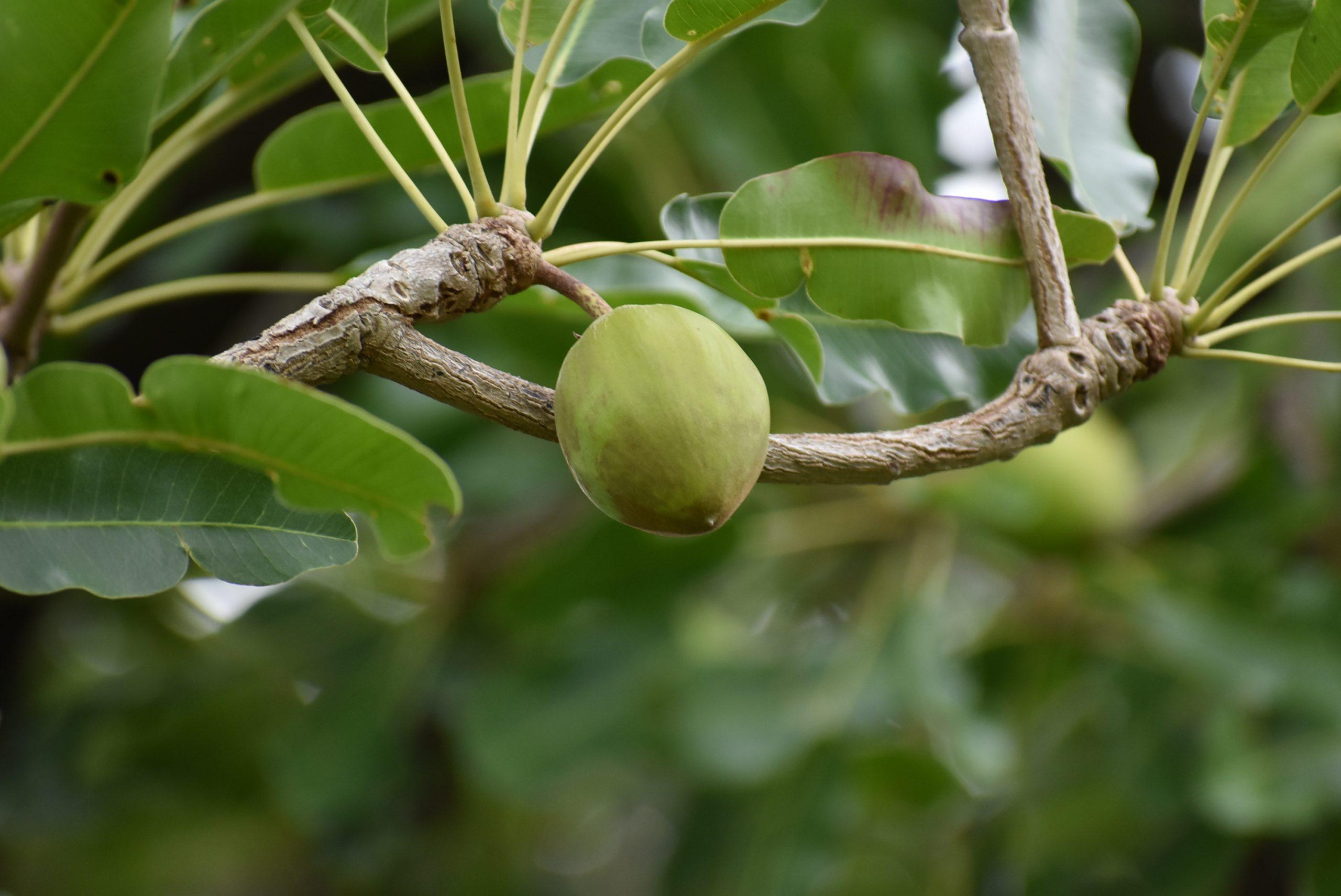Fruit arbre karité